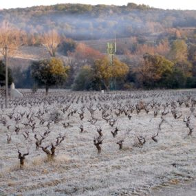Vignes givrées (4)